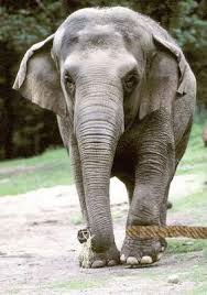 elephant with a rope